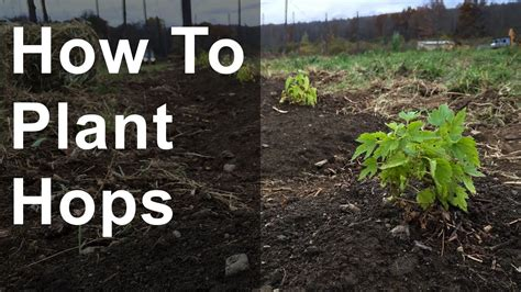 How to Plant Hops (with time lapse) - YouTube