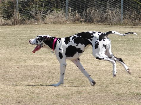 Great Dane Breed Guide - Learn about the Great Dane