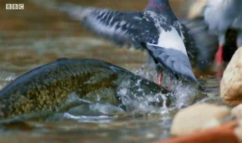Planet Earth 2- Viewers baffled as pigeons get eaten by a