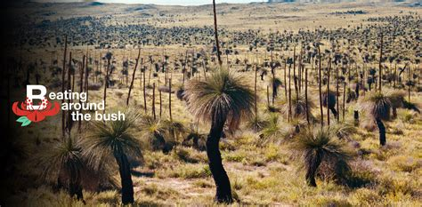 Grass trees aren't a grass (and they're not trees)