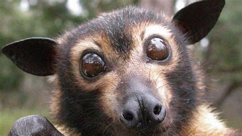 Paralysis Tick Season for Bats 2016 - Friends of the Earth